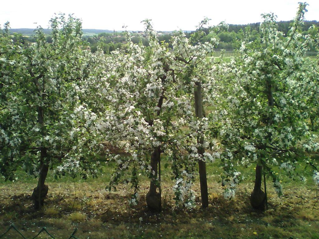 Obstgärten bei Dachstadt